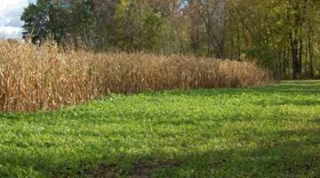 Broadcasting Corn In Your Food Plot