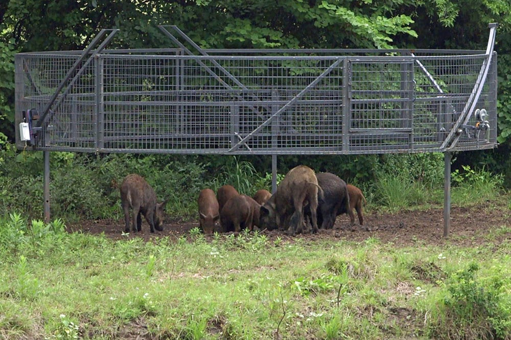 trapping hogs