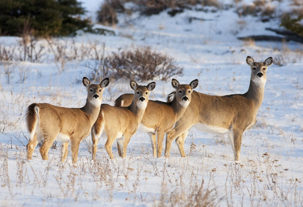doe with three fawns