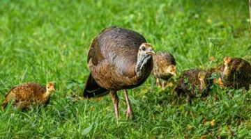 Wild Turkey Populations in the South