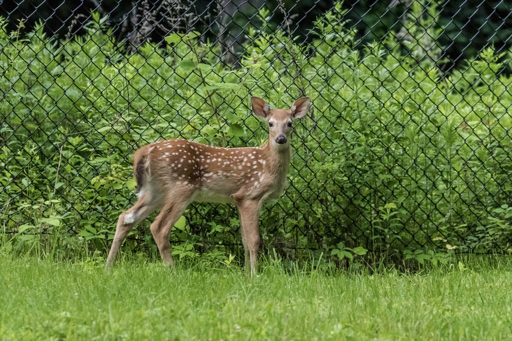 fawn by fence