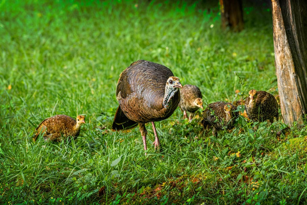 hen turkey with poults