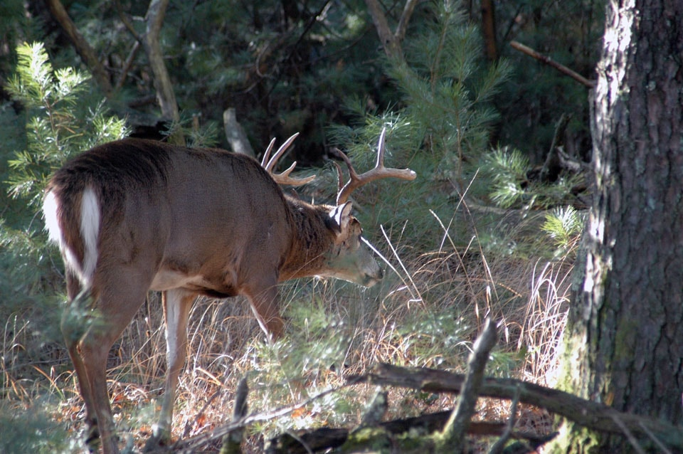 buck going to bedding area