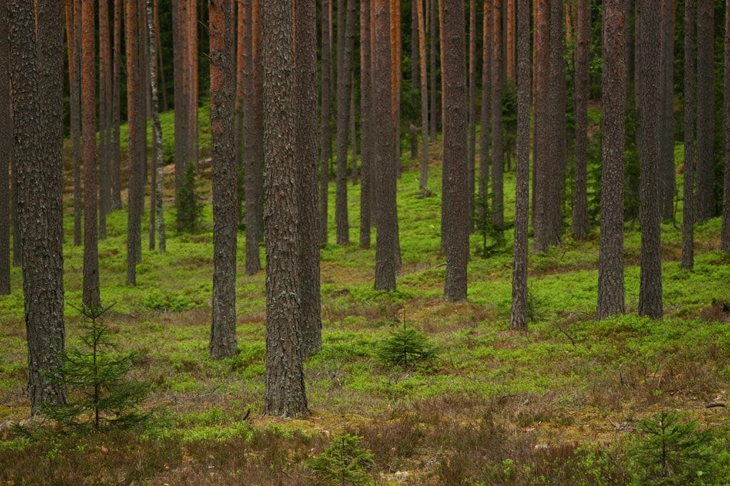 pine stand
