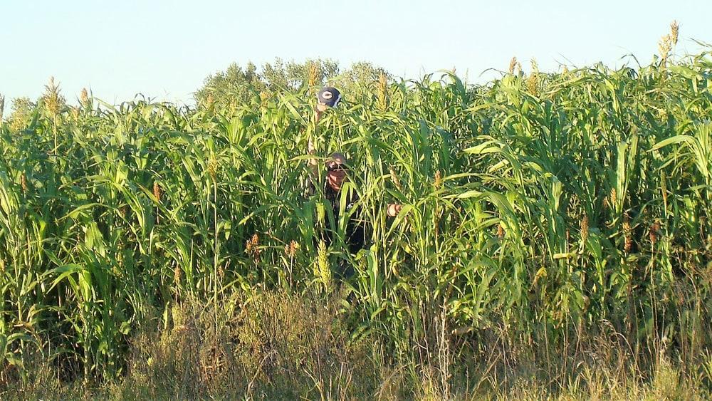 tall corn cover
