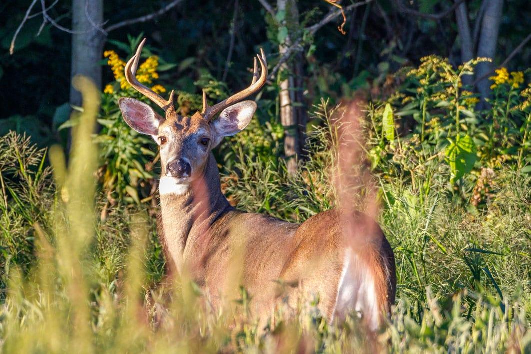 whitetail deer edge cover